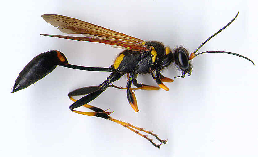 mud daubers are black and yellow thread waisted solitary waspsHornet Vs Wasp Size