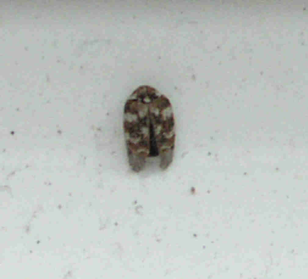 Small Brown Bugs In Kitchen Small Bug In House