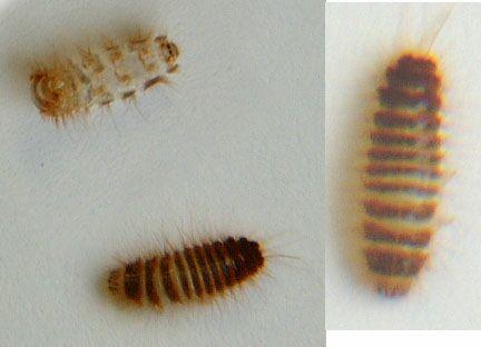 http://pestcontrolcanada.com/Questions/Ohio%20carpet%20beetle%20larva.jpg