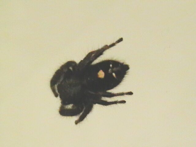 Black Spider with Yellow Dot On Back