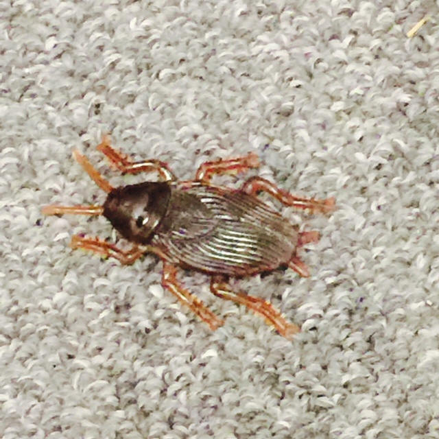 5252 Hi There What Is This Bug? Saw It On The Floor In The
