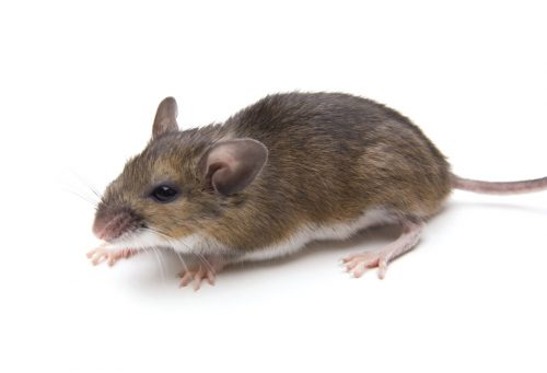 House mouse vs deer mouse