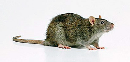 Rodent Identification And Habits Pest Control Canada
