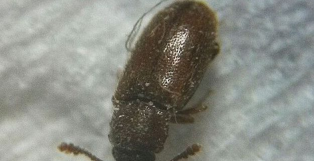 5562 Grain beetle