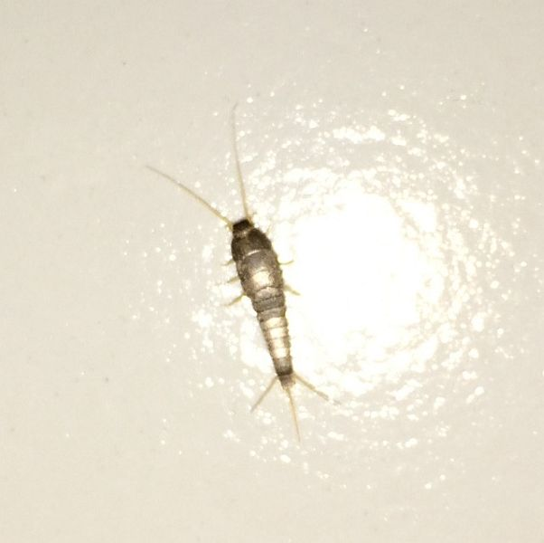 Silverfish dating