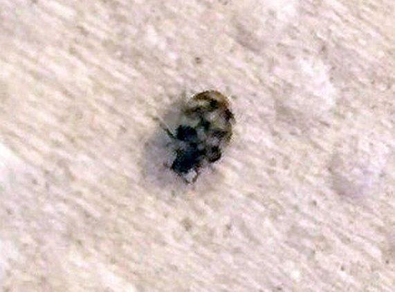 Adult Carpet Beetle Pest Control Canada