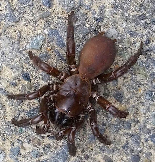 folding-door trapdoor spider & folding-door trapdoor spider \u2014 PEST CONTROL CANADA Pezcame.Com