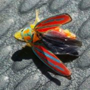 red-banded leafhopper.