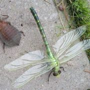 Dragonfly eating