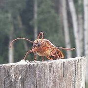 Long horned beetle?
