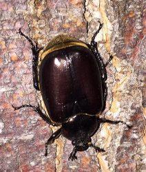 Scarabe beetle