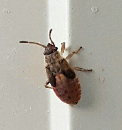 Seed bug nymph