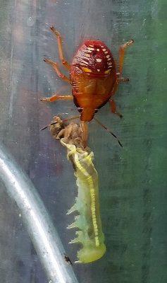 Stink bug nymph