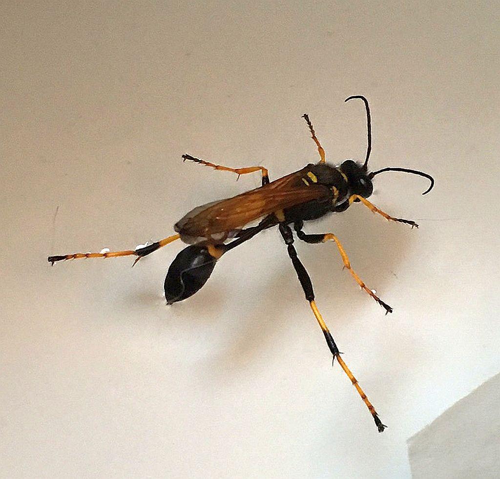 Mud Dauber Wasp Pest Control Canada