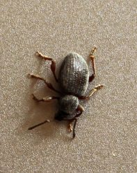 broad-nose/short-snouted weevil
