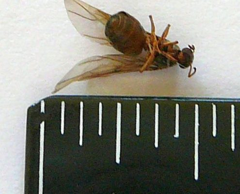 Reproductive winged ant