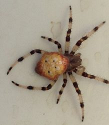female orb weaving spider