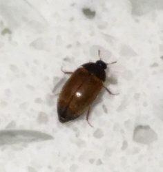 Dermestid Beetle