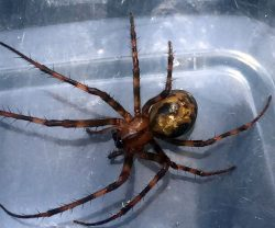 Cave orb weaver spider