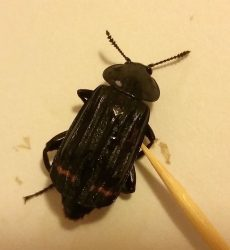 redlined carrion beetle