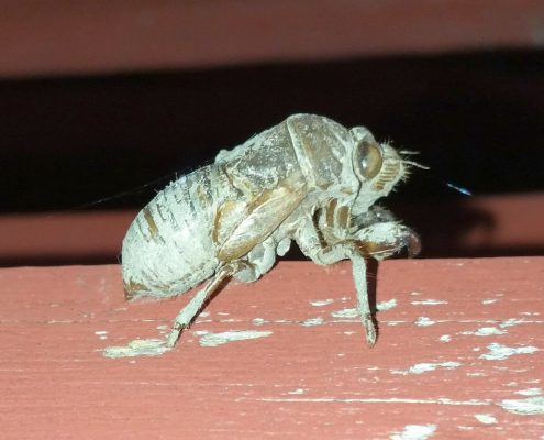 nymph or exoskeleton of a nymph of a cicada