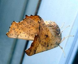 moth in the family Geometridae
