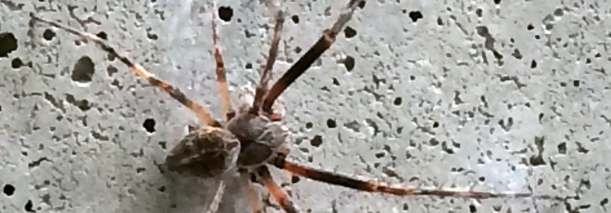 male orb weaving spider