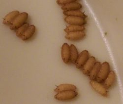 Phorid flies pupae