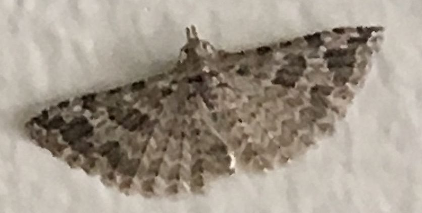 moth in the family Alucitidae