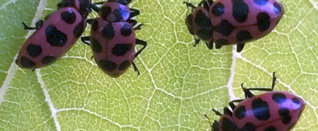 Pink spotted lady beetles