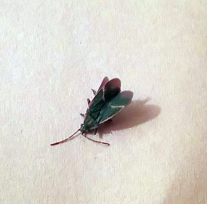 harmless boxelder bug