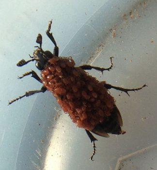 carrion/sexton/burying beetle
