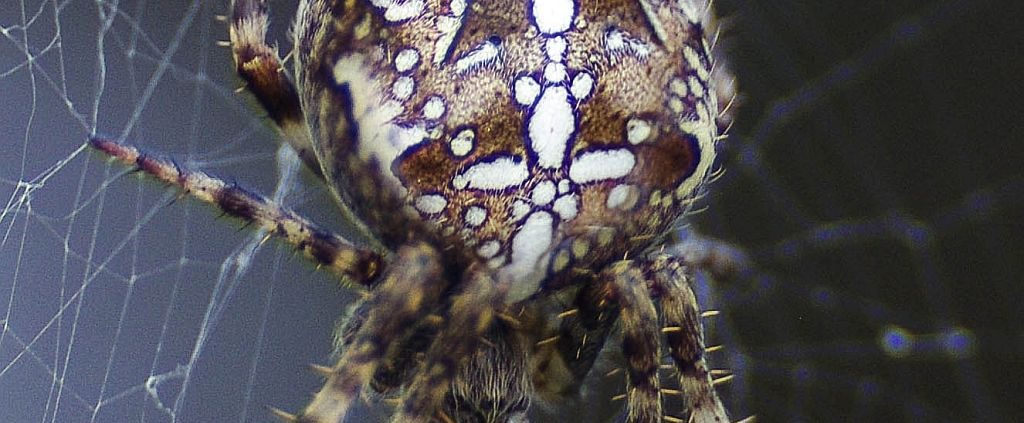 very common and widespread orb weaver species