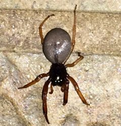 broadfaced sac spider