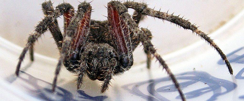 female orb-weaving spider