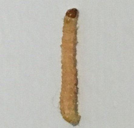 Indian meal moth caterpillar