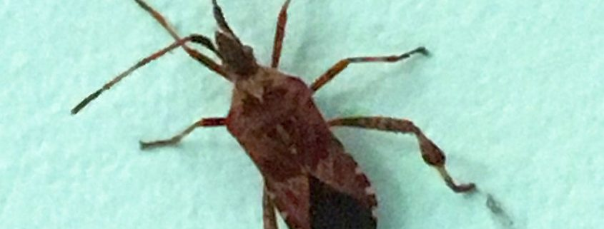 western-conifer-seed-bug