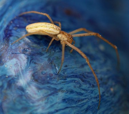 long-jawed orb-weaving spider