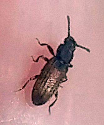 Saw-toothed or Merchant grain beetle