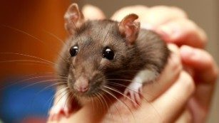 Pet rats carry virus