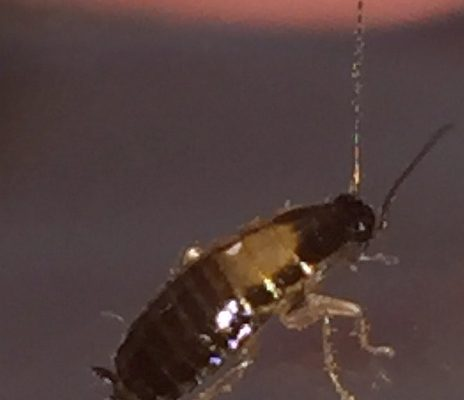 cockroach young nymph