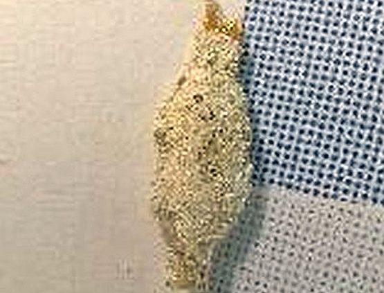 Casebearer larva
