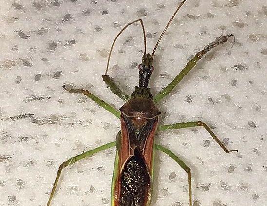 assassin bug