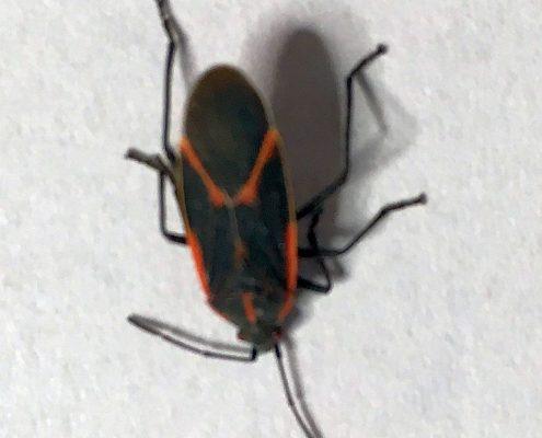 Boxlelder bug