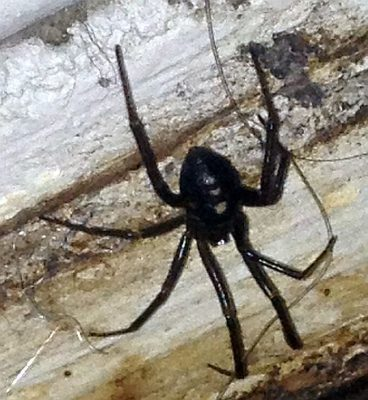 western black widow spider