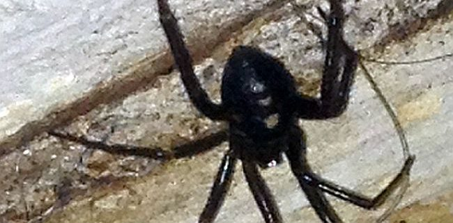 western black widow spider