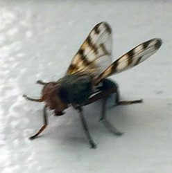 picture-wing fly