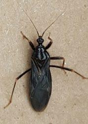 masked hunter assasin bug