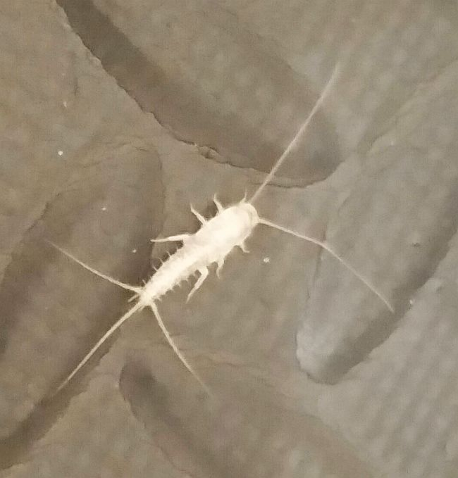 how to get rid of silverfish bugs in your house