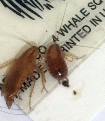 German cockroaches